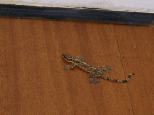 DV Lizard in my room