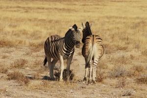 Etosha Zebras1