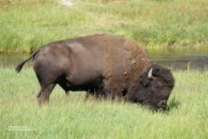 24 Bison
